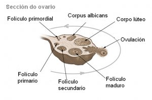 ¿Qué son los ovarios polifoliculares?