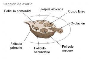 ¿Qué significa tener folículos en los ovarios?